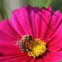 abeille-F.Virey-OPIE