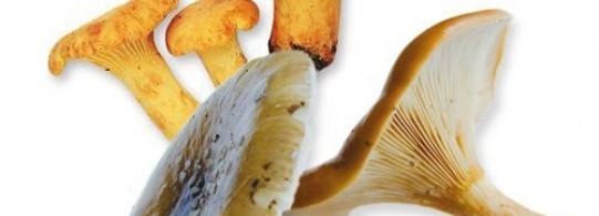 Recette champignon sylvestre