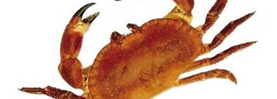 Recettes à base de Crabe