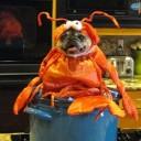 Déguisement chien homard