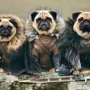 Déguisement pour chien Game of Thrones