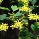 bourgeons de cassis - comment mieux supporter une hormonothérapie