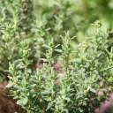 thym - remède naturel contre la toux