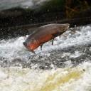 saumon-nager