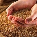Le germe de blé contre le vieillissement cutané