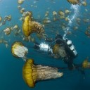 Un cameraman au milieu des méduses dorées